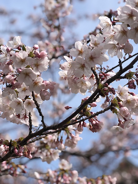 桜前線到来!!