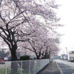 桜のリレー